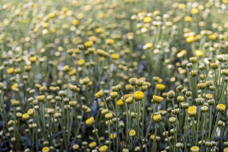 从关闭的黄色发芽的菊花 免版税图库摄影