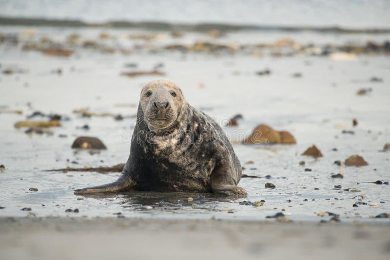 从前面看的灰色封印躺下在看照相机的海滩 库存图片
