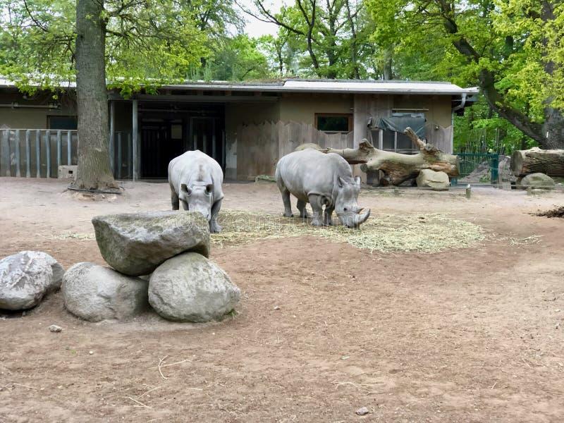 从动物园的犀牛吃干草的小组  免版税库存照片