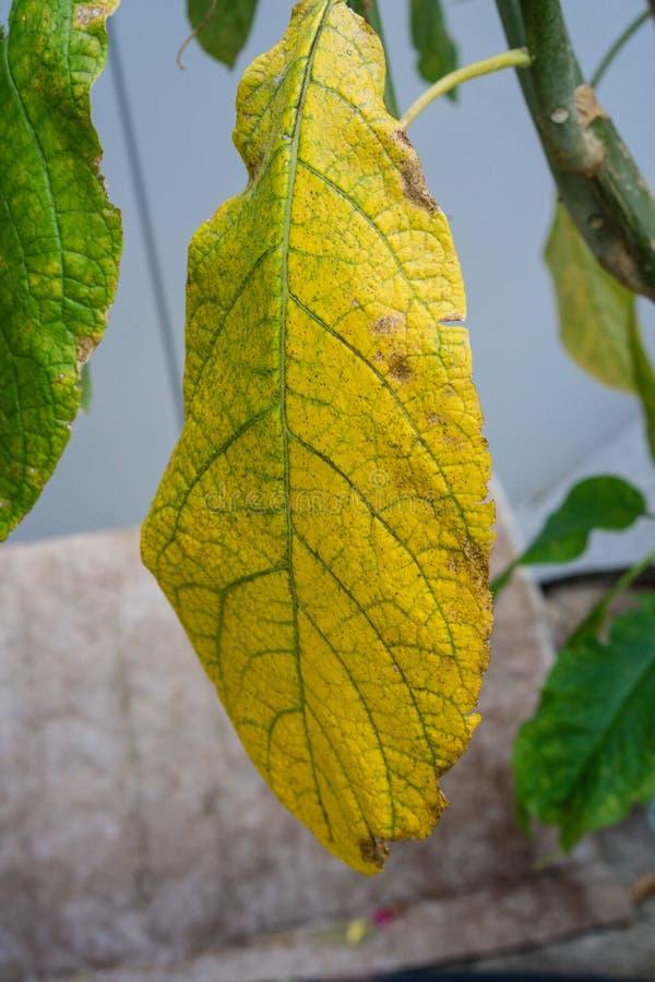 从北部哥伦比亚黄色叶子和树干关闭的Brugmansia sanguinea茄科blood red天使trompet植物 库存照片