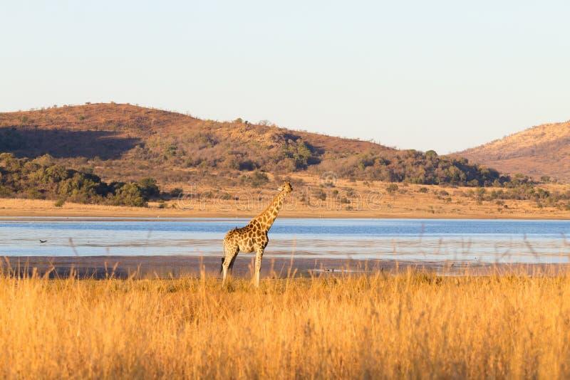 从南非的长颈鹿, Pilanesberg国家公园 闹事 库存图片