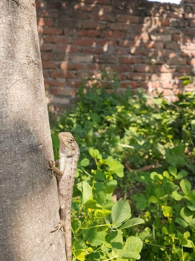 从印度的东方庭院蜥蜴 库存照片