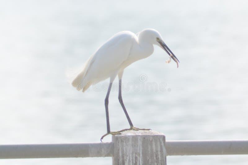 从厦门的可爱的白色鸭子 库存照片