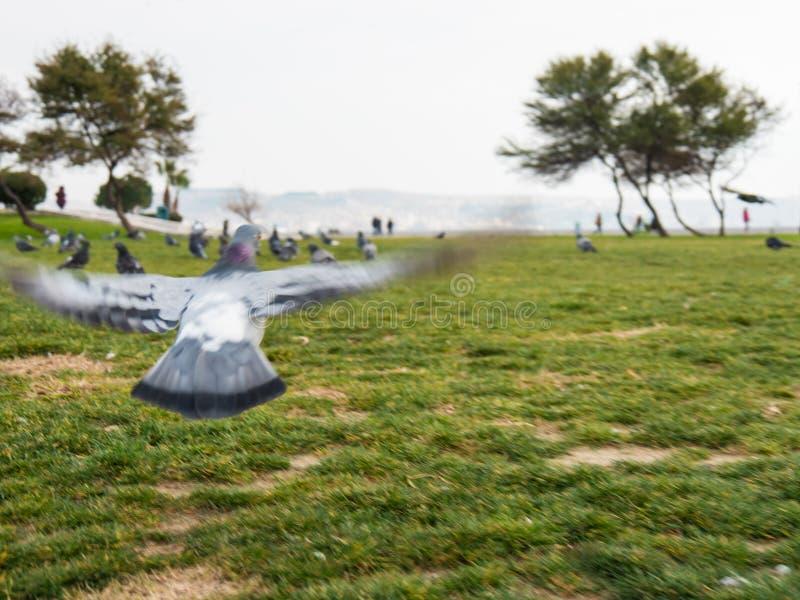 从后面看法的鸽子在飞行中与翼宽打开了在城市公园和海边背景在伊兹密尔,土耳其 免版税图库摄影