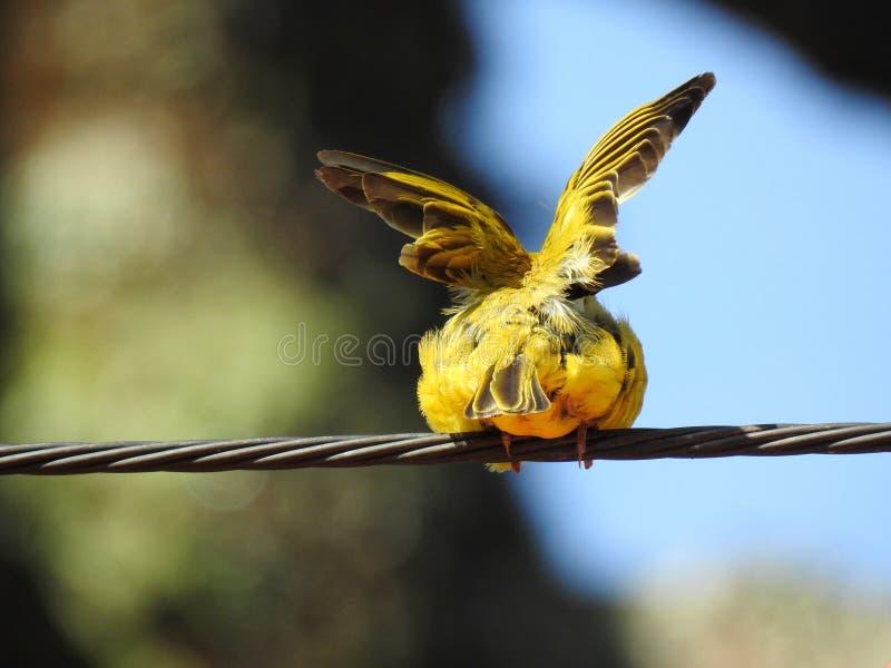从后面看见的一只小黄色鸟金丝雀,在钢缆绳 免版税库存图片