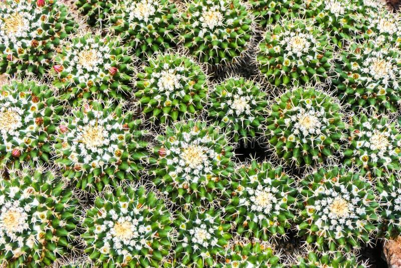 从品种上的绿色仙人掌群 免版税库存照片