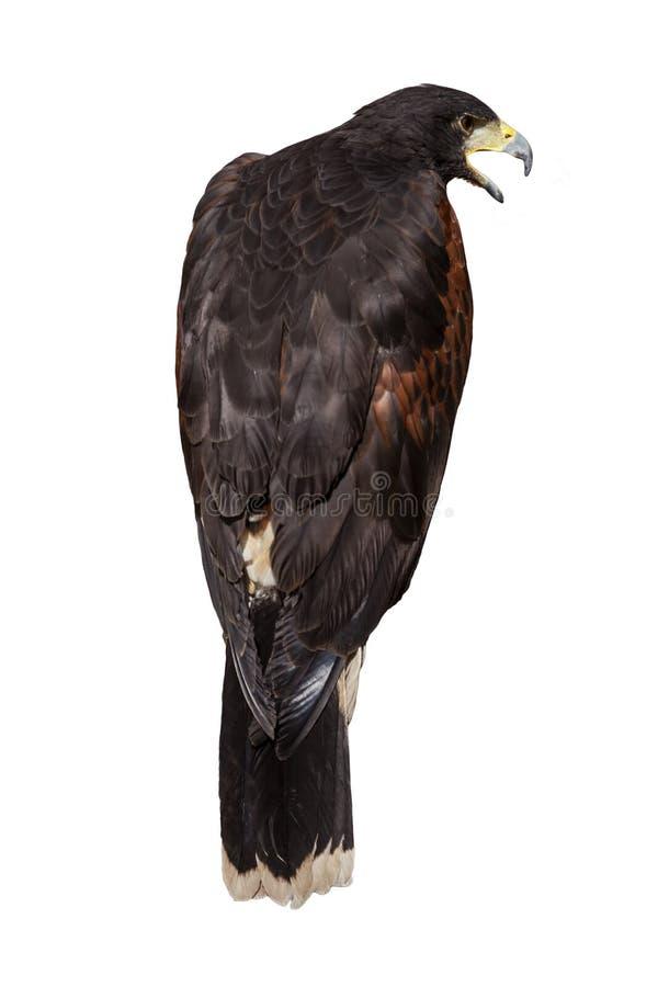 从回到乌鸦叫看见的庄严老鹰 图库摄影