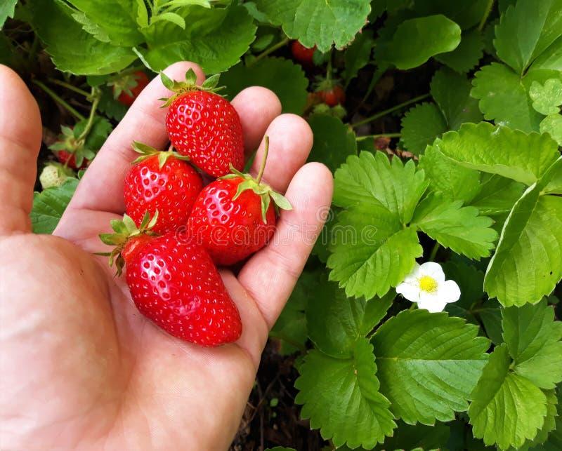 从回合的成熟草莓 免版税库存图片