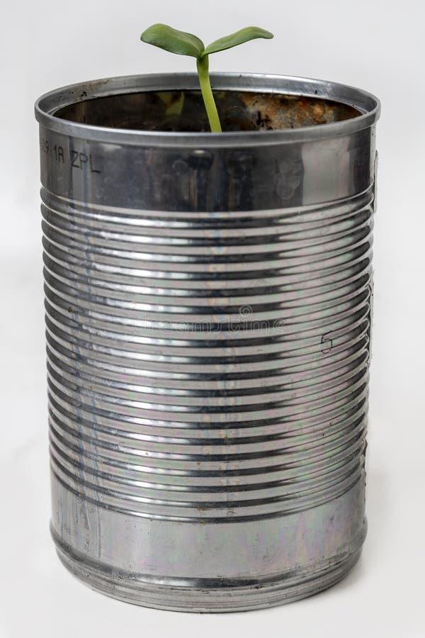 从回收的豆锡中冒出的绿芽 库存照片