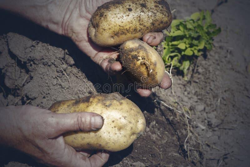 从土壤中收获新鲜的有机马铃薯,收获,人工收获 免版税库存图片