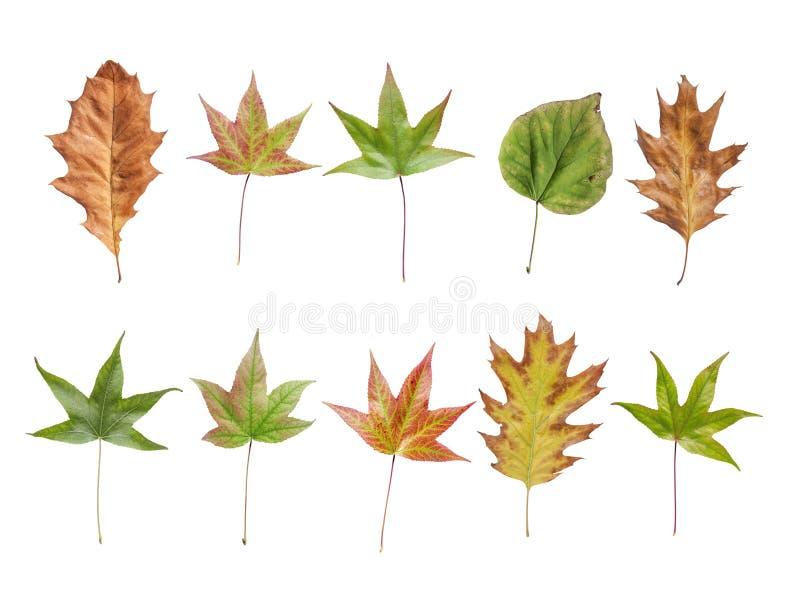 从在白色背景隔绝的干燥庭院树的秋叶 库存图片