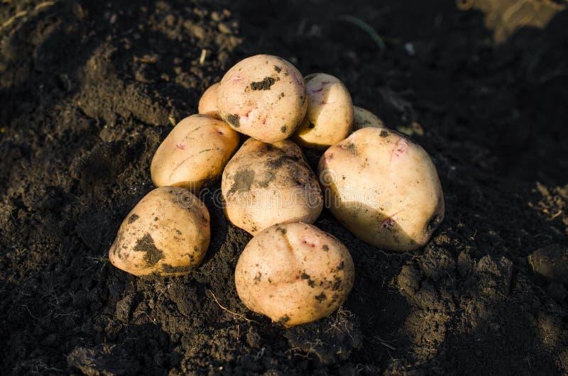从地球新近地采取的收获生态土豆 库存图片