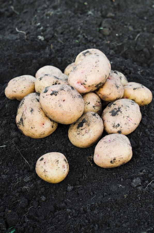 从地球新近地采取的收获生态土豆 免版税库存照片