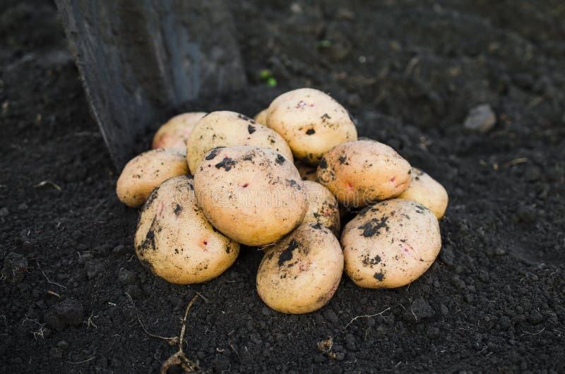 从地球新近地采取的收获生态土豆 免版税库存图片