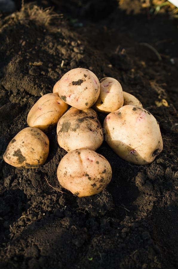 从地球新近地采取的收获生态土豆 库存照片