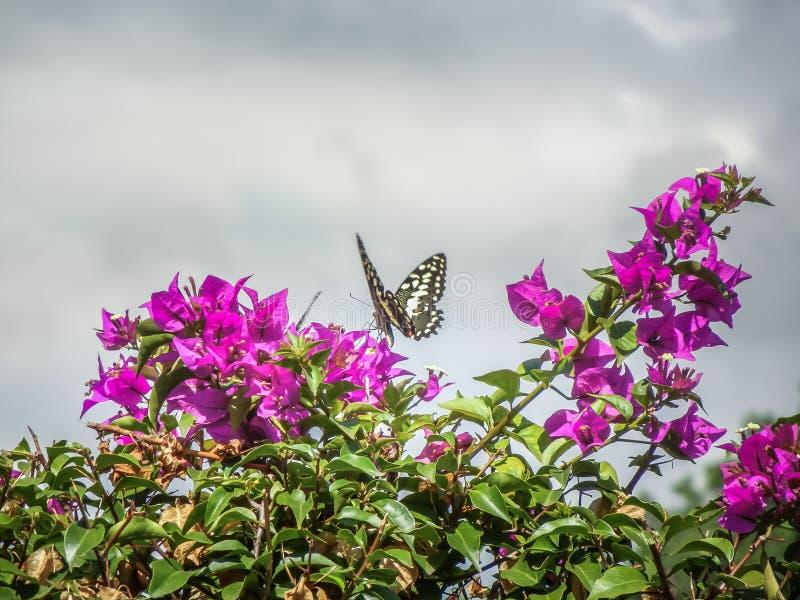 从坦桑尼亚柑橘swallowtail papilio dem的美丽的蝴蝶 图库摄影