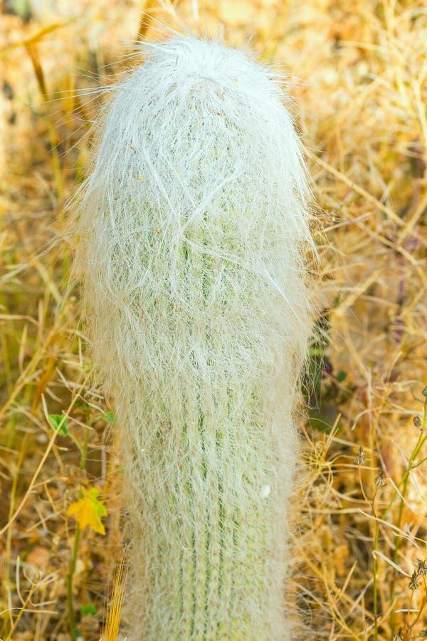 从墨西哥的白色长毛的Cephalocereus Senilis老人仙人掌在干燥植物中的黄色沙漠 热带异乎寻常的植物 免版税库存照片