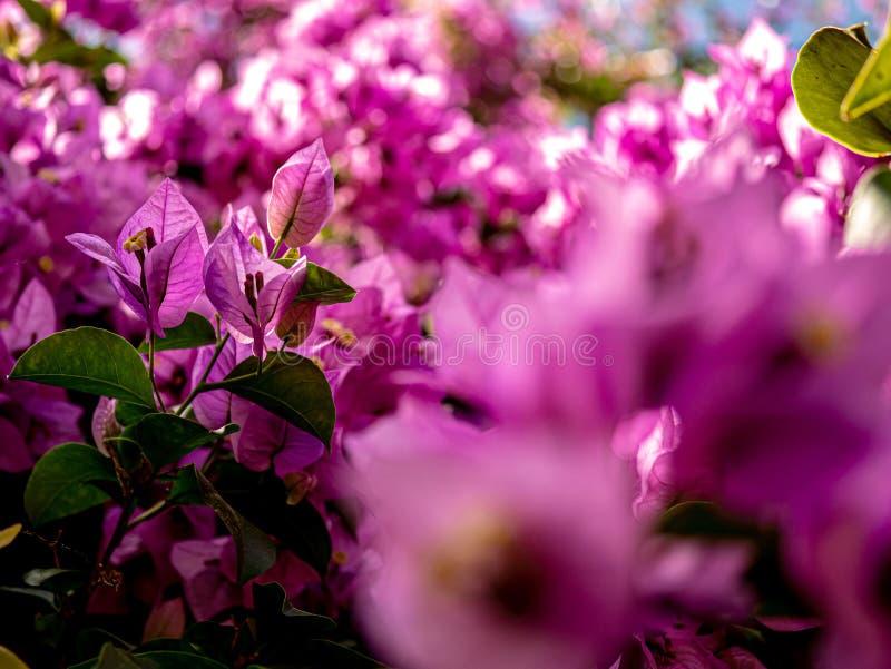 从壮观的开花的桃红色牵牛花灌木关闭  库存图片