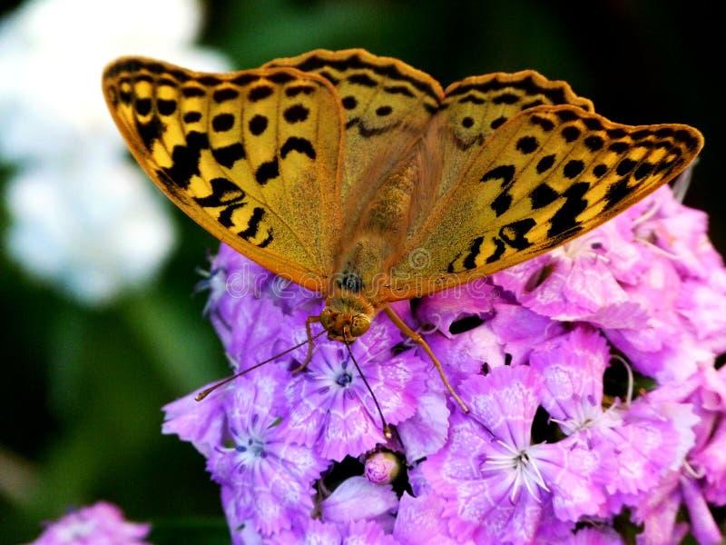 从外形的五颜六色的蝴蝶在桃红色花 免版税库存图片