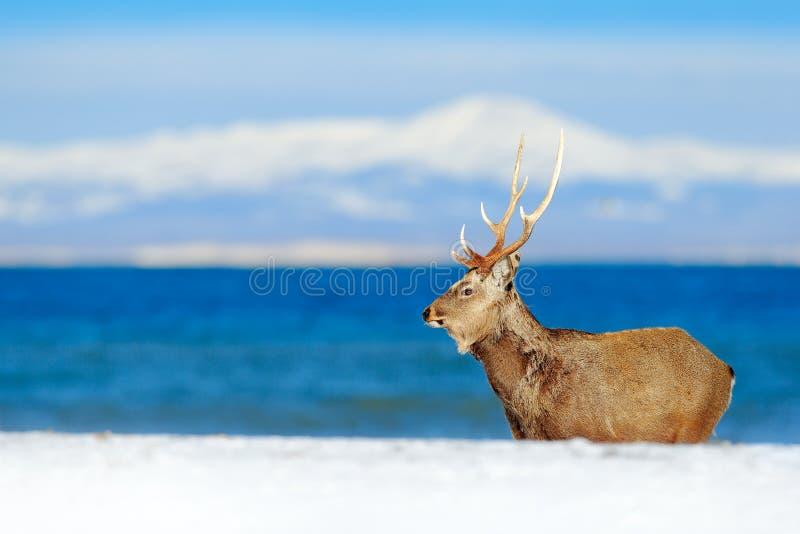 从多雪的自然的野生生物场面 北海道sika鹿,鹿日本yesoensis,在与深蓝海的海岸,冬天山 库存图片