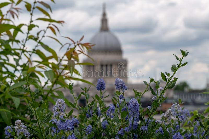 从大炮桥梁屋顶平台,伦敦英国的看法 在前景的蓝色ceanothus花 圣保罗的软的焦点圆顶在距离的 免版税图库摄影