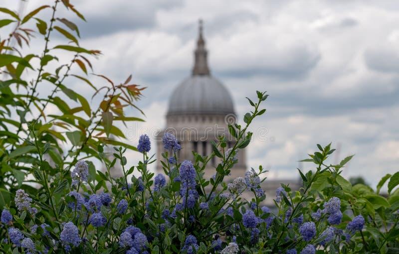 从大炮桥梁屋顶平台,伦敦英国的看法 在前景的蓝色ceanothus花 圣保罗的软的焦点圆顶在距离的 库存照片