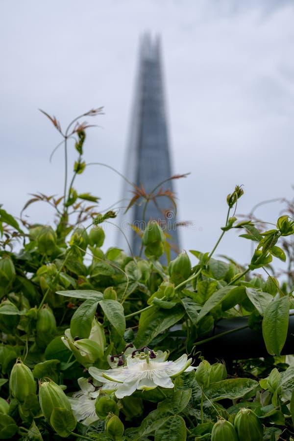 从大炮桥梁屋顶平台,伦敦英国的看法 白色激情花在前景的焦点 碎片摩天大楼在后边软的焦点 库存照片
