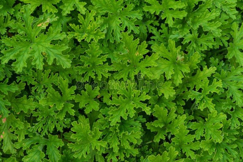 天竺葵graveolens 库存图片. 图片 包括有 增长, 季节图片