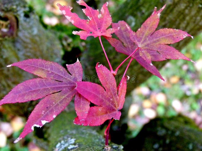 从奇迹树的凋枯的叶子在紫色有被弄脏的背景 免版税库存照片