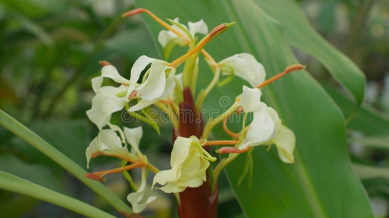 从婆罗洲的热带姜Hedychium,开花植物根茎和根,美好的白花绽放花  免版税图库摄影