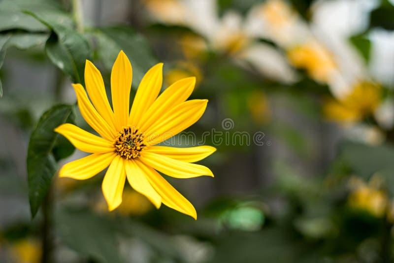 从家庭菊科的黄色花 库存照片