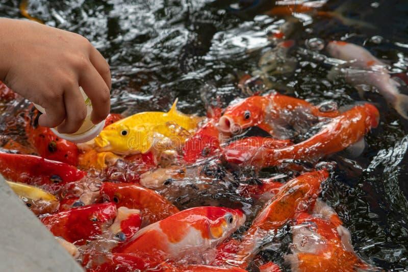 从小bottleto的饲料牛奶婴孩鲤鱼在池塘 库存照片