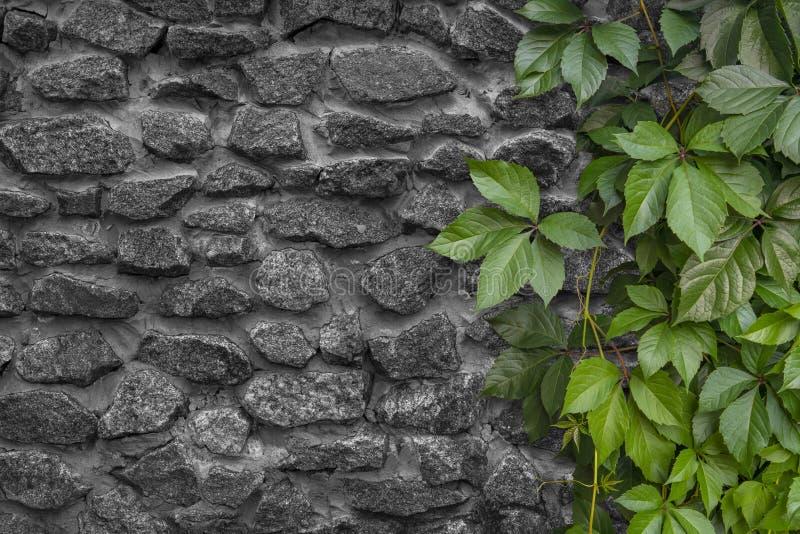 从少女少女葡萄的活树篱 绿色植物对一个石墙 爬山虎属Inserta 库存图片