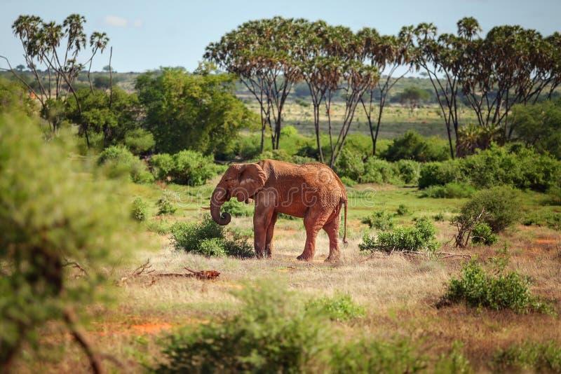 从尘土的非洲灌木大象非洲象属africana红色,未经预约而来 图库摄影