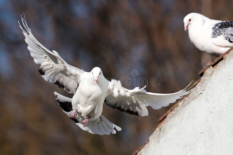 从屋顶飞鸽 免版税库存照片