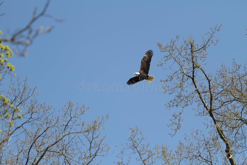 从巢的一次白头鹰飞行在一好日子 免版税库存照片