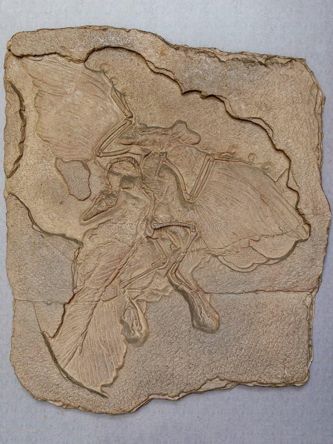 从巴伐利亚,德国的侏罗纪平版印刷的储蓄的始祖鸟化石鸟lithographica 免版税库存照片