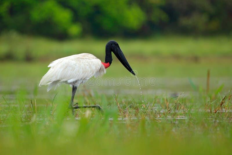 从巴西的大鹳 Jabiru在水湖,绿色植被 旅行巴西 Jabiru鹳,在绿色水wi的黑白鸟 库存照片