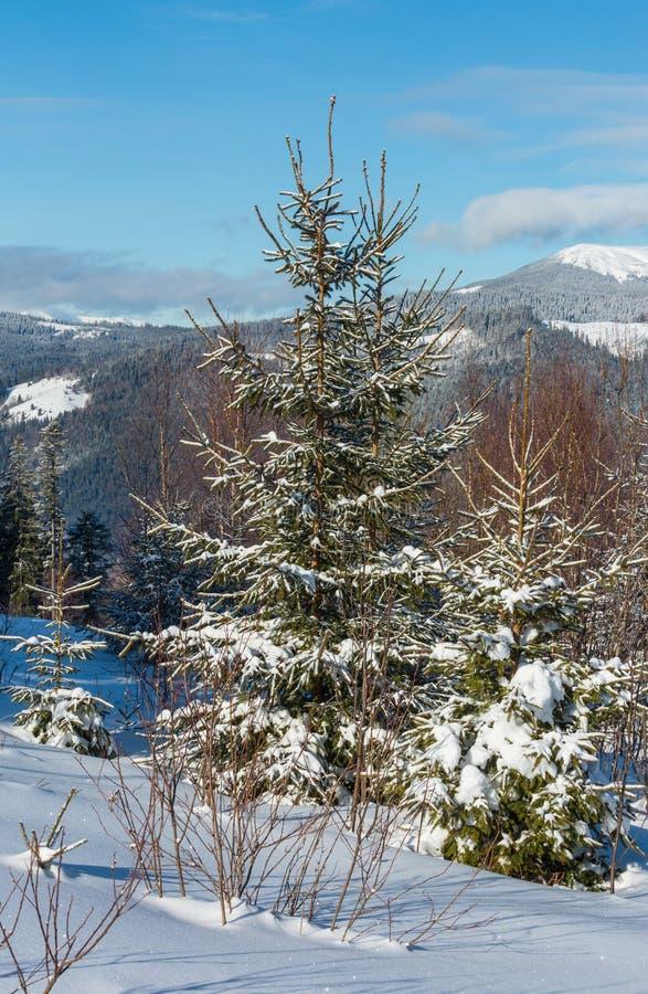 从年轻冷杉和桦树森林Skupova山高山倾斜,Verkhovyna区的美丽如画的冬天早晨山景, 免版税库存图片