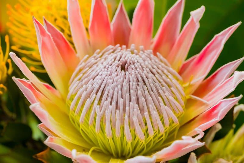 从开普敦南非Fynbos的聪慧的色的国王普罗梯亚木  免版税库存图片