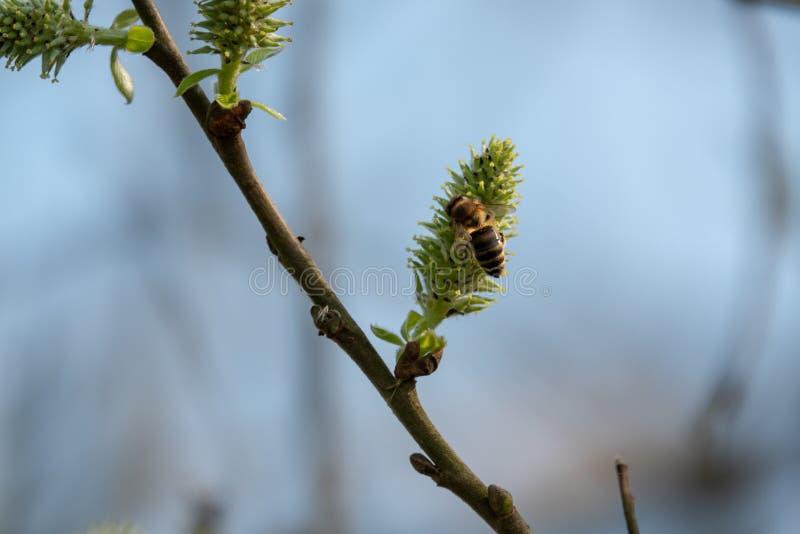 从开花的开花的蜜蜂飞行 库存图片