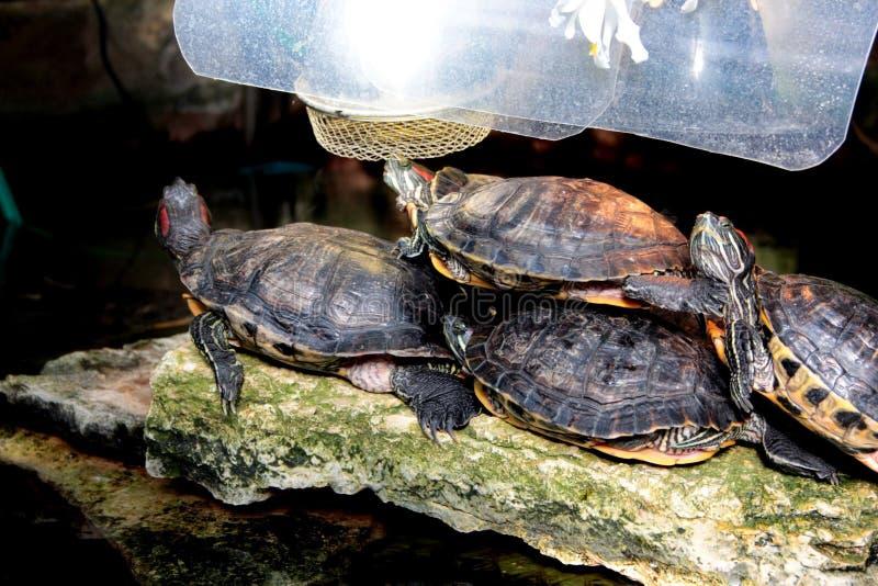 从彼得大帝植物园的乌龟  免版税库存图片