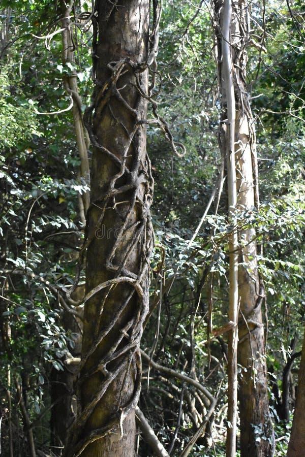 从新吞噬树的侵略的常春藤, 1 免版税库存照片
