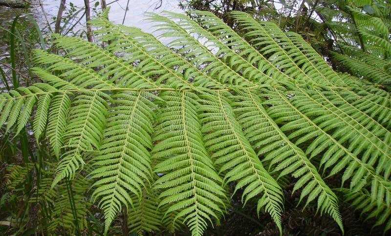从新西兰的银色树蕨 库存图片