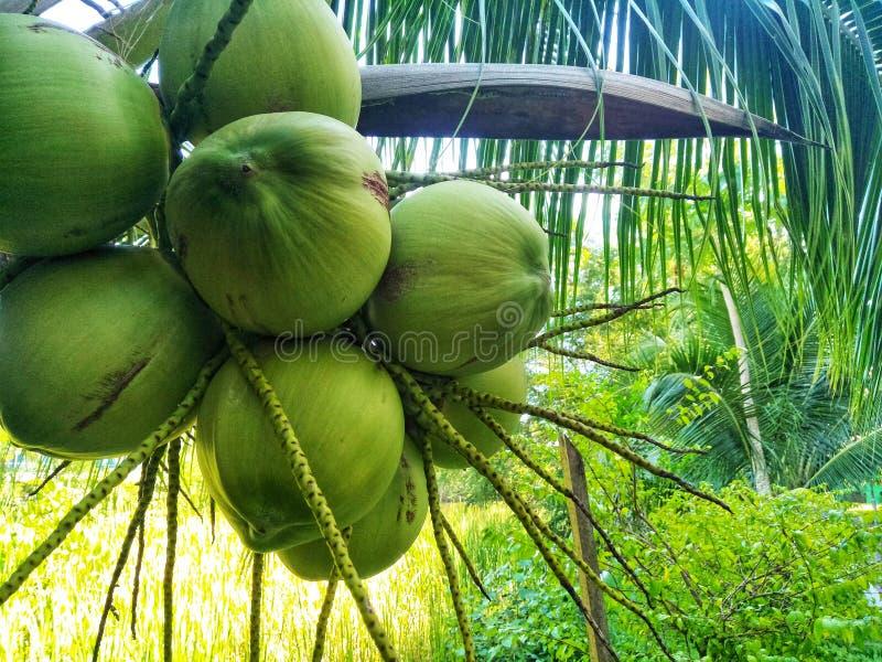从新鲜的椰子从农场 免版税库存图片
