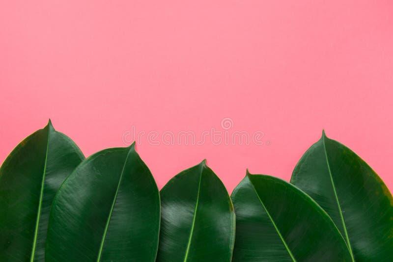 从新鲜的绿色榕属的美好的样式在框架边界离开在樱桃桃红色背景 横幅海报公告模板 免版税库存照片