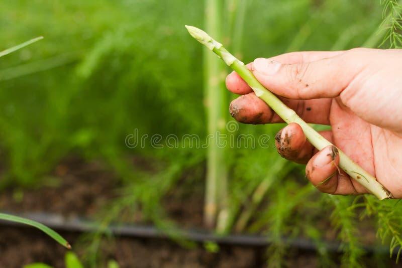 从有机农场的收获新鲜的芦笋 免版税库存图片