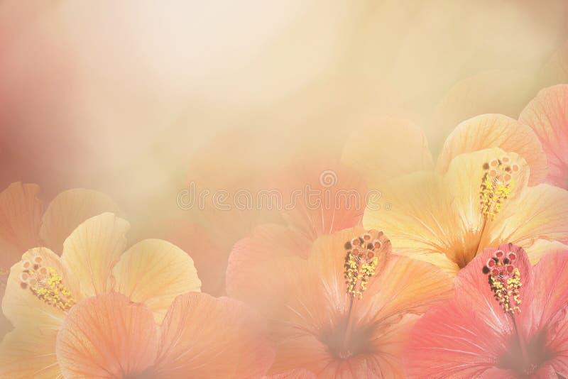 从木槿的花卉黄色桃红色白的背景 开花构成 在晴朗的背景的中国人玫瑰色花 免版税库存图片