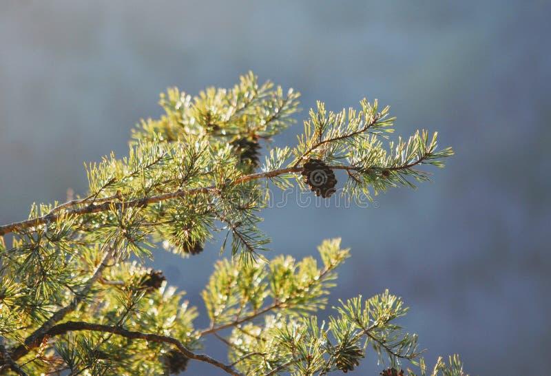 从杉木分支的Pinecones吊高在Devil& x27上; s峡谷在红河丹尼尔・布恩国家森林的峡谷地区 库存照片