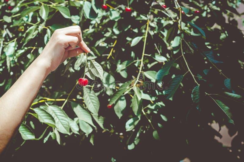 从树的女性采摘的樱桃在庭院里 妇女摘未加工的樱桃果子 家庭获得乐趣在收割期 免版税库存图片